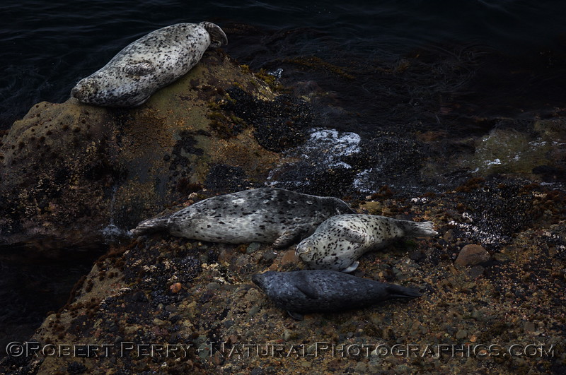 Harbor seals on the rocks, Point Lobos.