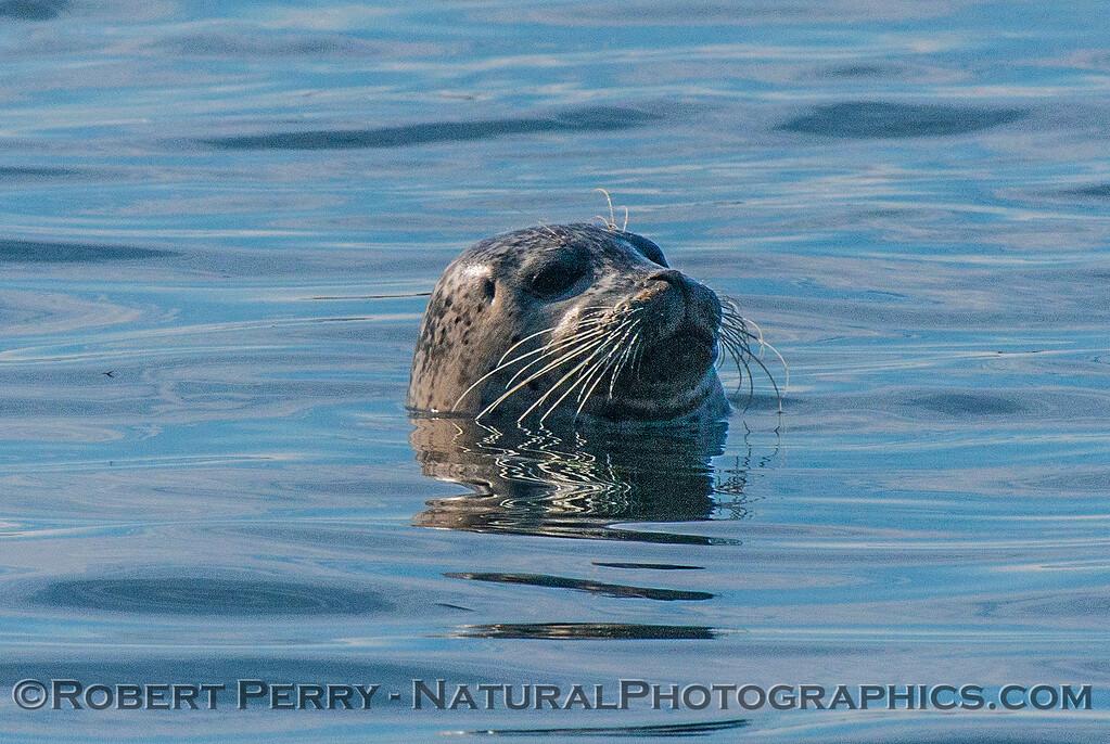 Phoca vitulina 2016 11-09 Bodega Bay--006