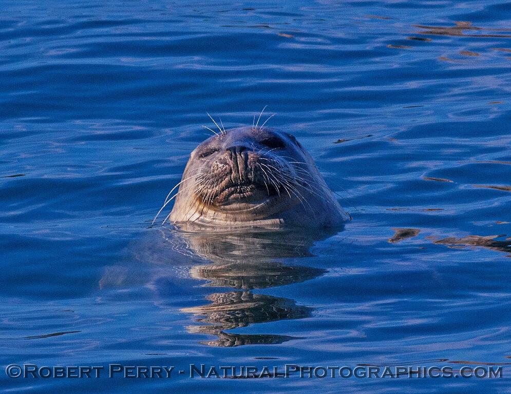 Phoca vitulina 2016 11-29 Bodega Bay-025