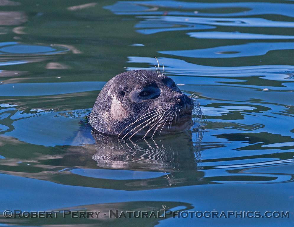 Phoca vitulina in water close 2017 01-14 - Bodega Bay-d-010
