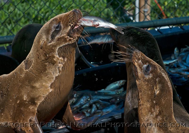 Image 5 of 6:  California sea lion (Zalophus californianus) juvenile feeding on Alaskan herring (Clupea pallasii).