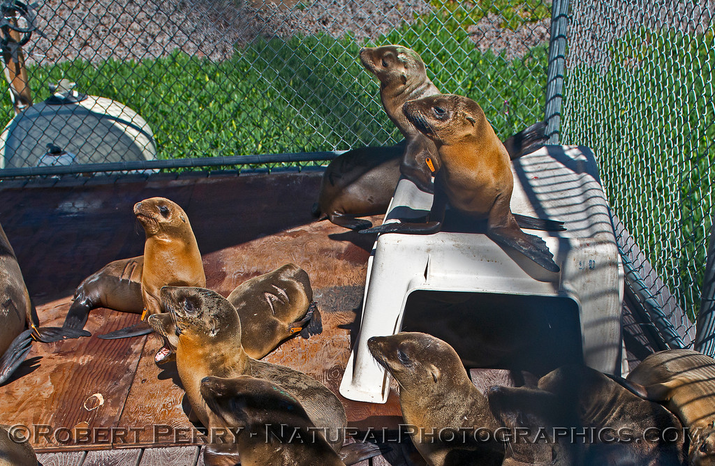 Juvenile sea lions in rehab pen.