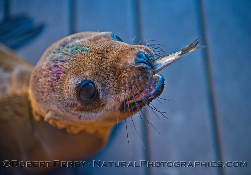 Image 1 of 6:  California sea lion (Zalophus californianus) juvenile feeding on Alaskan herring (Clupea pallasii).