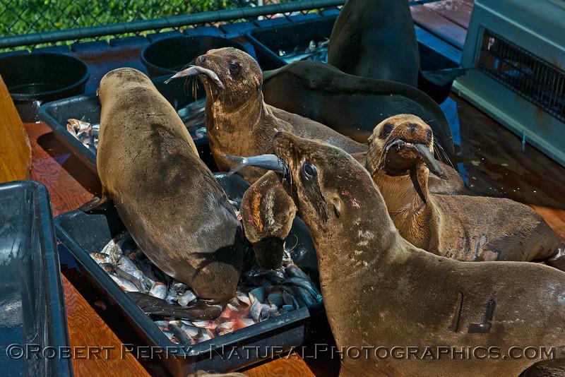 Image 2 of 6:  California sea lion (Zalophus californianus) juveniles feeding on Alaskan herring (Clupea pallasii).