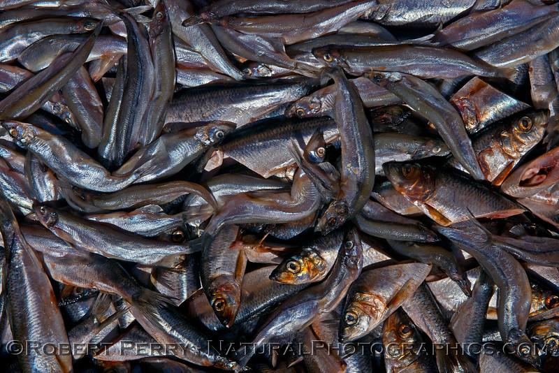 Alaskan herring (Clupea pallasii).