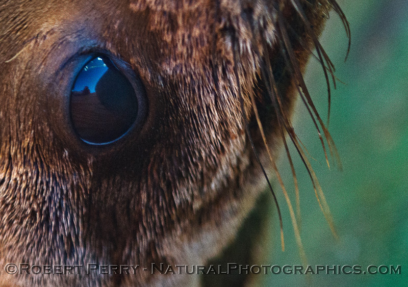 Image 1 of 4:  Looking into the eye of a juvenile California sea lion.