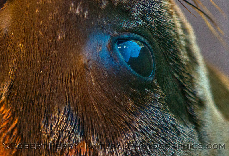 Image 3 of 4:  Looking into the eye of a juvenile California sea lion.