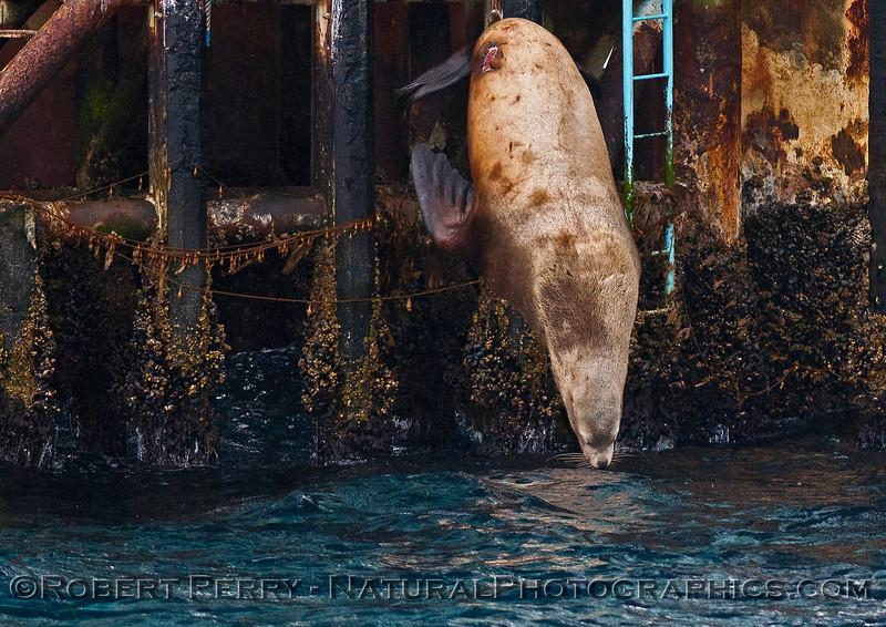 Image 3 of 4:  Stellar sea lion on Platform Henry - Santa Barbara Channel.