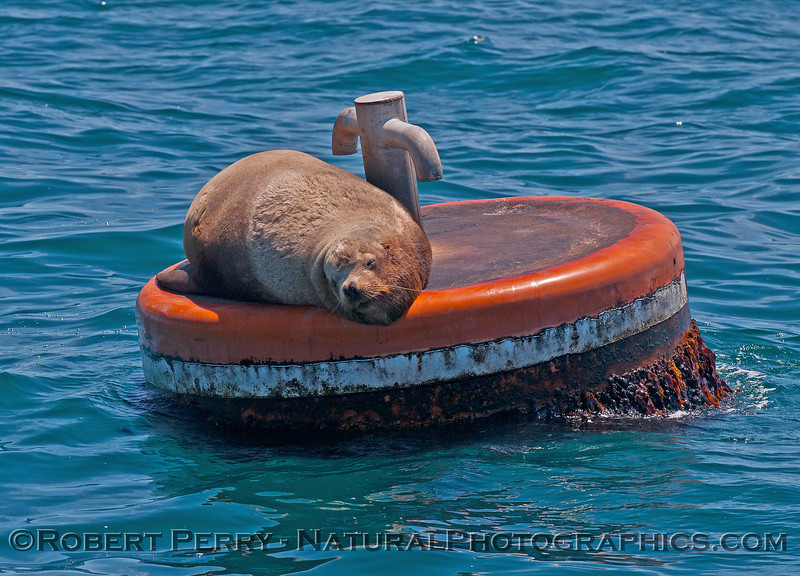 Image 1 of 2:  young male Stellar sea lion on mooring can - East Beach Anchorage, Santa Barbara.