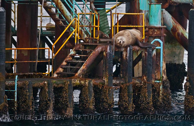Image 2 of 4:  Stellar sea lion on Platform Henry - Santa Barbara Channel.