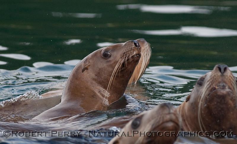 Young Stellar Sea Lions (Eumetopias jubatus) keep a close eye on the camera.