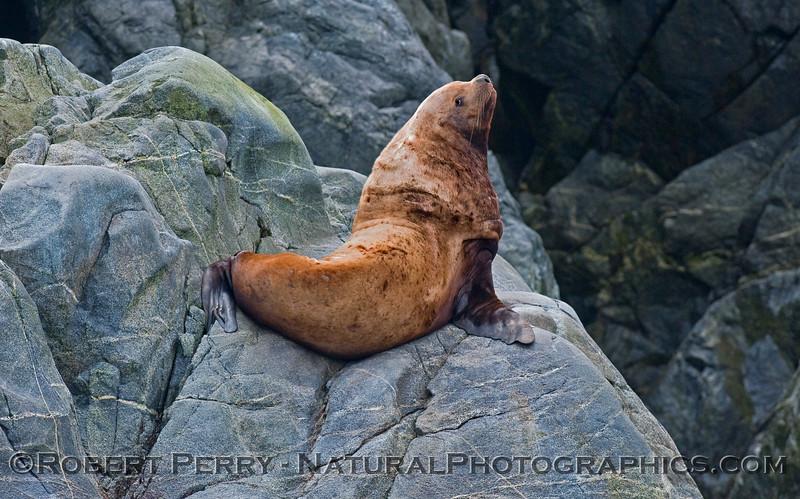 Stellar Sea Lion (Eumetopias jubatus) adult male.
