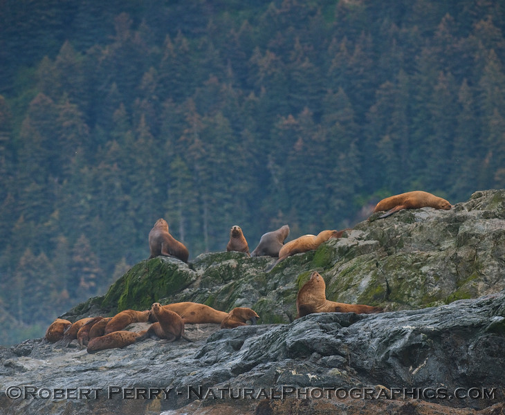 Hauling grounds with a view -- Stellar Sea Lions (Eumetopias jubatus) on the rocks with dense forest in back.