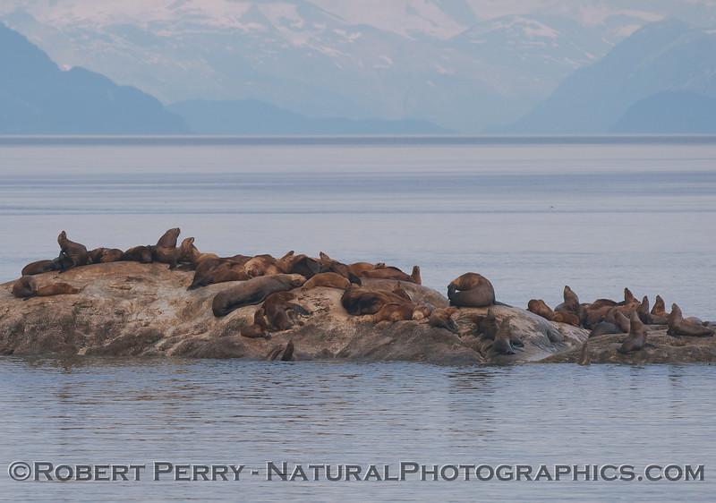Stellar Sea Lions (Eumetopias jubatus) haul out on South Marble Island.