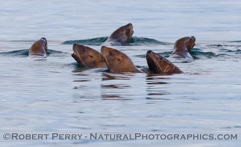 Stellar Sea Lions (Eumetopias jubatus).