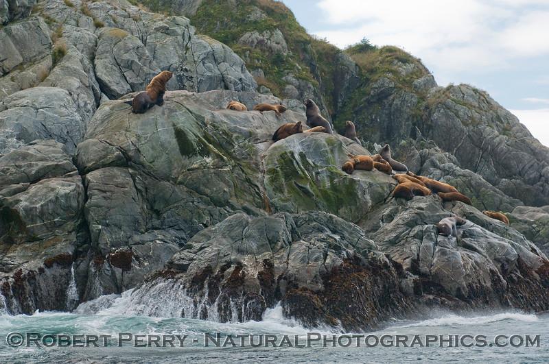 Stellar Sea Lions (Eumetopias jubatus) hauled out on the rocks.