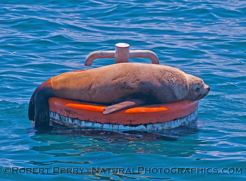 Image 2 of 2:  young male Stellar sea lion on mooring can - East Beach Anchorage, Santa Barbara.