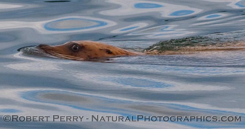 A wary Stellar Sea Lion (Eumetopias jubatus) eyeballs the camera.