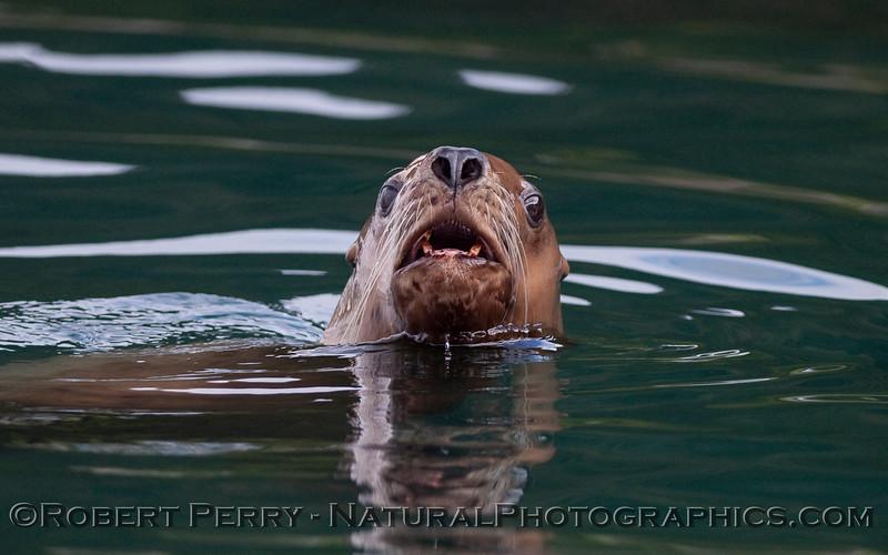 Stellar Sea Lion (Eumetopias jubatus) portrait.