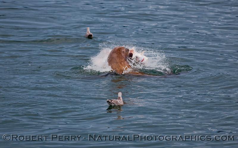 Stellar Sea Lion (Eumetopias jubatus) feeding.
