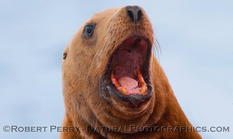 A vocal Stellar Sea Lion (Eumetopias jubatus).