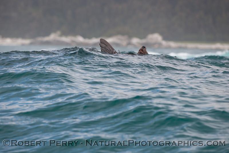 A Stellar Sea Lion (Eumetopias jubatus) rides the open ocean swells, one fin in the air.