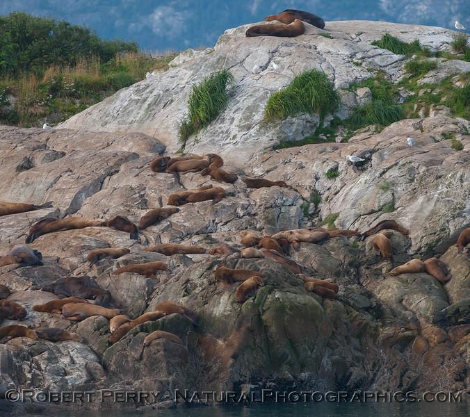 More Stellar Sea Lion (Eumetopias jubatus) rocks and ledges.