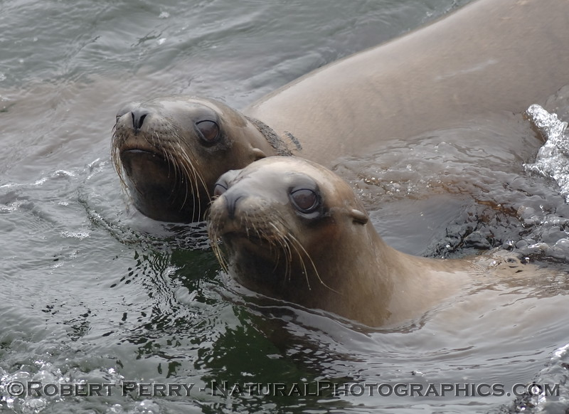 Close look at two California Sea Lions.