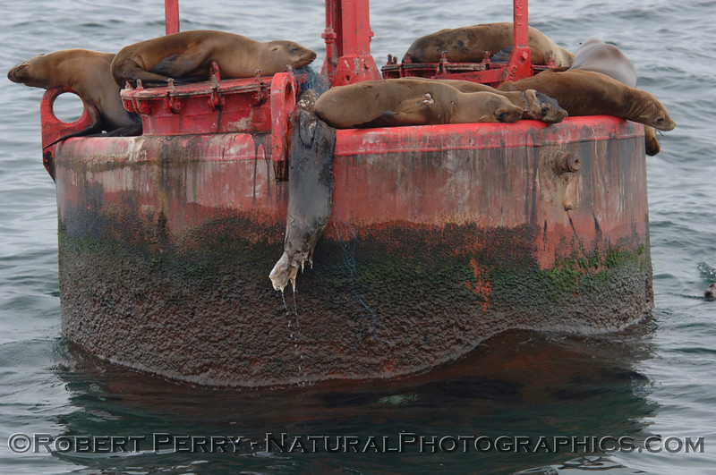 Sea lion carcass hangs from one of the El Segundo buoys after it climbed up while entangled in a nylon monofilament gill net.  The net hooked up on some buoy hardware and the situation went downhill quickly.
