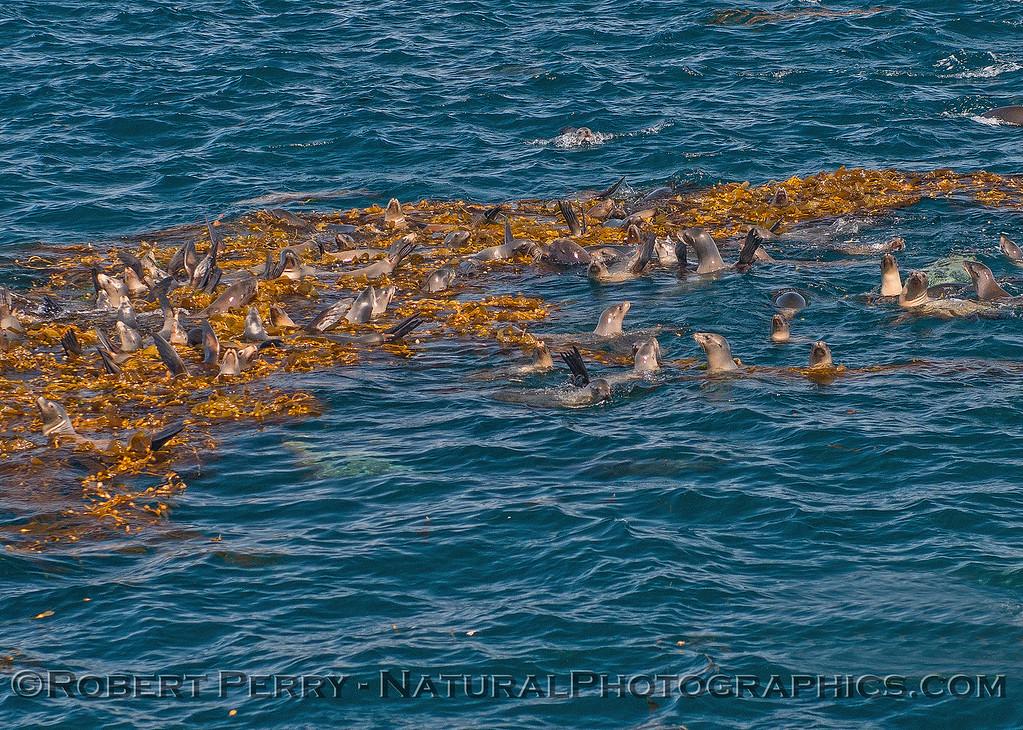 Zalophus californiainus mega mob kelp Macrocystis 2016 09-28 SB Channel-c-012