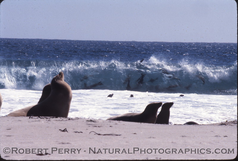 Sea lions rest on the shore as a dozen or so furry brothers ride the shore break.