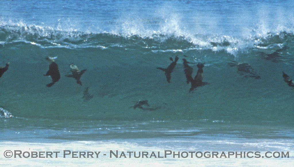 A few of our brown furry brothers holding a body surfing contest in the San Nicolas Island shorebreak.