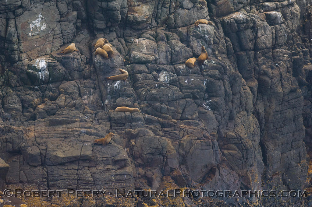 Once again we see the agile California Sea Lions (Zalophus californianus) climbing high up the face of the rocky cliffs at Santa Cruz Island.