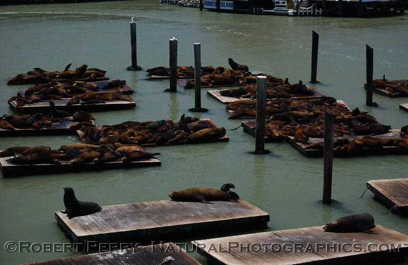 Crowded docks at San Francisco pier 39.