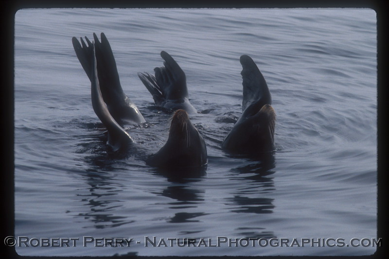 One of my early 35mm slides, a pair of Sea Lions rafting.