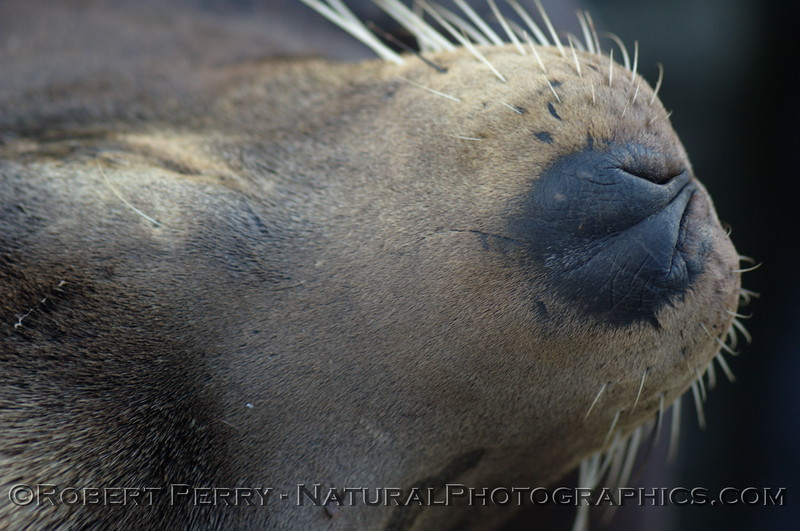 Dorsal view of a wild bull sea lion showing mystacial vibrissae.