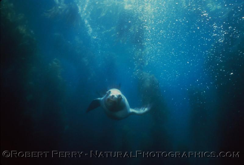 Zalophus pup diving companion - Santa Barbara Island.
