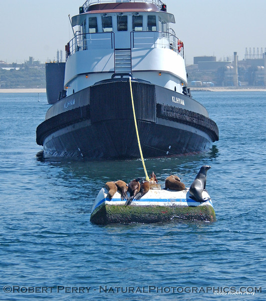 Sea lions on mooring can tied to towboat Klihyam, which is tied to a bunker barge offloading oil for the power plant at El Segundo, California.
