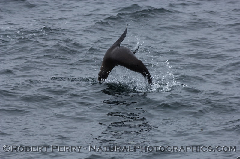 More sea lion acrobatics.