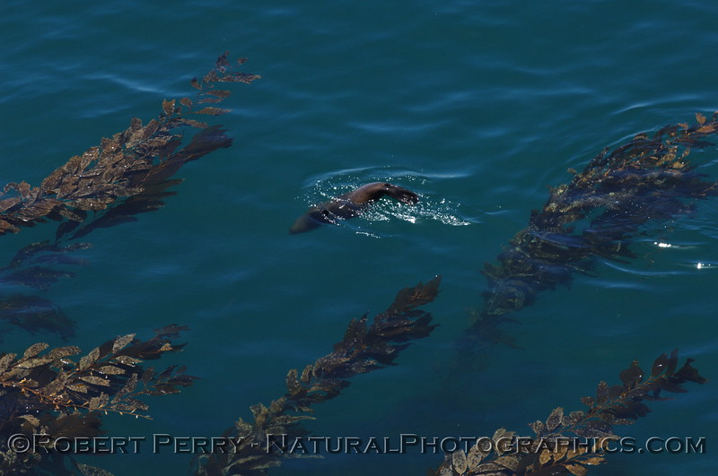 Series of photos showing sea lions in the clear, blue waters near the giant kelp forest.  Cathedral Cove, Anacapa Island.