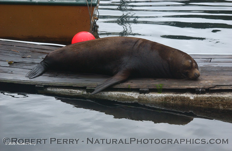 Q. Where does a 1000-pound sea lion bull sleep?<br /> A. Anywhere it wants to.