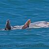 Zalophus californianus on sinking dinghy 2016 04-27 SB Coast-008