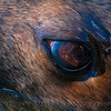 Zalophus californianus male head close 2017 01-14 - Bodega Bay-c-095