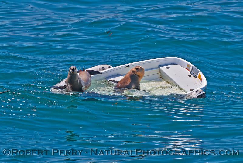 Zalophus californianus on sinking dinghy 2016 04-27 SB Coast-027