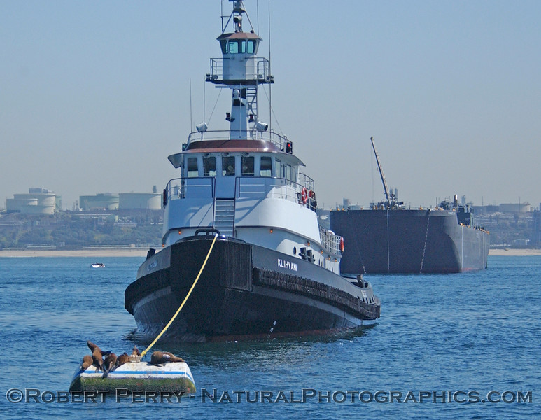 Sea lions on mooring can tied to Towboat Klihyam which is tied to bunker barge offloading oil at the El Segundo power station.