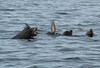Male California sea lion in the water