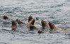 Group of Steller sea lions