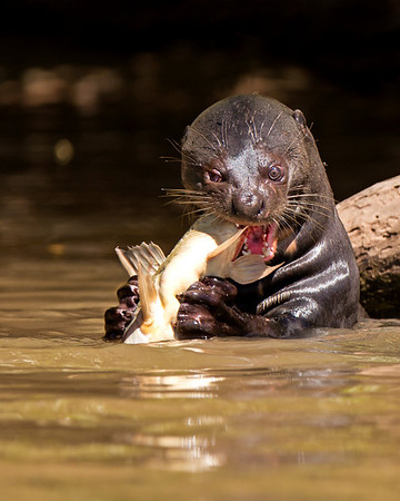 Sea Otters and River Otters