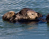 s  The Sea otter or Kalan (Enhydra lutris) is a marine mammal native to the coasts of the North Pacific, from northern Japan and Kamchatka east across the Aleutian Islands and south to California.