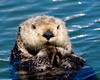 The Sea otter or Kalan (Enhydra lutris) is a marine mammal native to the coasts of the North Pacific, from northern Japan and Kamchatka east across the Aleutian Islands and south to California.
